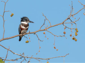 North Shore Birding Festival: Kingfisher on a branch